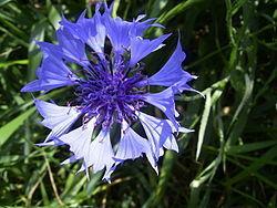 矢車菊250px-CentaureaCyanus-bloem-kl.jpg